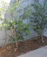 オリーブ 植栽