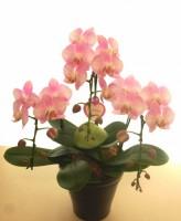 胡蝶蘭 アマビリスピンク