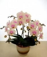 胡蝶蘭 サクラ