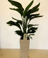 オーガスタ 観葉植物 陶器鉢