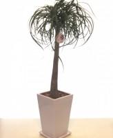 ポニーテール 観葉植物 陶器鉢